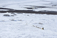 Mitch Seavey runs down Topkok hill on his way to Safety and Nome on Tuesday March 12, 2013...Iditarod Sled Dog Race 2013..Photo by Jeff Schultz copyright 2013 DO NOT REPRODUCE WITHOUT PERMISSION