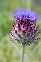 Europe/France/Aquitaine/40/Landes/ Lencouacq:  Fleur de cardon dans le Jardin Potager de la Ferme Auberge du Jardin de Violette chez Violette Valés - agricultrice et restauratrice