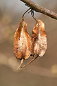 Dried fruits or seed pods of Carolina silverbell or snowdrop Tree (Halesia carolina), late March.