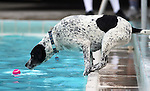 Tucker plays at the fourth annual Pooch Plunge at the Carson Aquatic Facility in Carson City, Nev., on Saturday, Sept. 22, 2012. The Parks 4 Paws event helps raise funds for local dog projects..Photo by Cathleen Allison