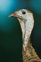 Wild Turkey, Meleagris gallopavo, female, Willacy County, Rio Grande Valley, Texas, USA