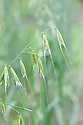 Avena sterilis, early JUly. Common names include Animated oats, Sterile oat, Wild oat, Wild red oat, Winter wild oat.