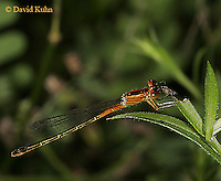 0825-06pp  Eastern Forktail Damselfly - female - Ischnura verticalis - © David Kuhn/Dwight Kuhn Photography