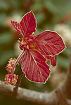 7354-CD River's Purple Beech, Fagus sylvatica `Riversii' new growth, flowers, at Dayton, Oregon