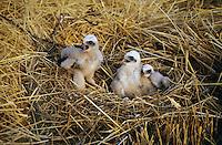 Rohrweihe, Küken im Nest, Horst, Bodennest, Rohr-Weihe, Weihe, Circus aeruginosus, marsh harrier