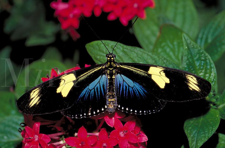 HELICONIUS SARA, Sara Butterfly, nectoring on  PENTAS LACEOLATA.                      subfamily - Heliconiinae;  family - Nymphalidae; order - Lepidoptera;      class - Insecta;    phyllum - Arthropoda;     kingdom - Animalia. NEW ORLEANS LOUISIANA USA