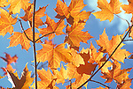 Maple Leaves, Autumn