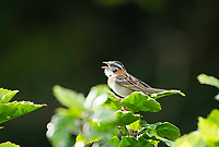 Rufous-collared Sparrow, Zonotrichia capensis, singing. Monteverde, Costa Rica