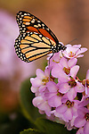 Monarch on purple flowers