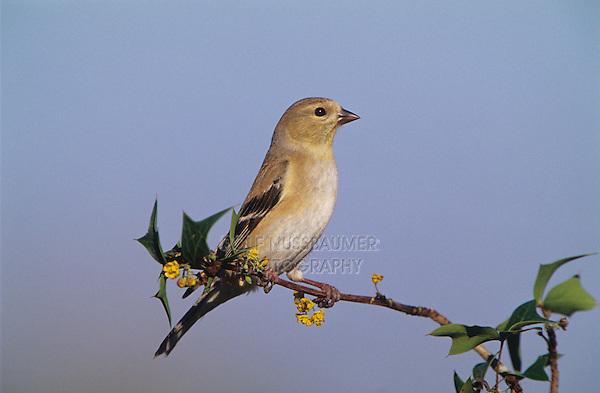 American Goldfinch, Carduelis tristis, adult winter plumage, Welder Wildlife Refuge, Sinton, Texas, USA, March 2005
