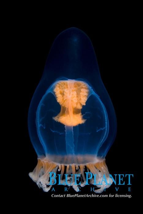 Leuckartiara medusae, Leuckartiara octona, Sørfjorden, Bergen, Hordaland, Norway, North Atlantic Ocean