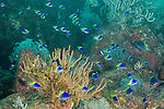 Sea of Cortez, Baja California, Mexico; a school of juvenile Blue-and-yellow Chromis (Chromis limbaughi) fish swimming above the rocky reef