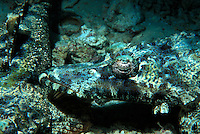 A Beaufort Crocodile fish resting its head on another crocodile fish in the Solomon Islands.
