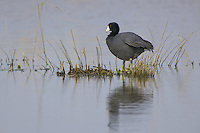 American Coot standing on some grass poking through the surface of a pond
