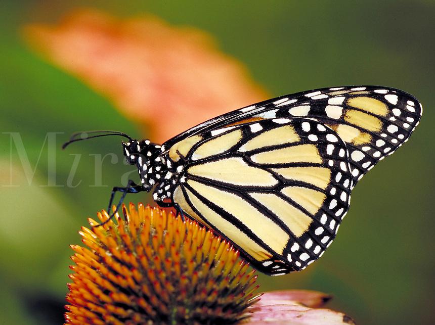 "DANAUS PLEXIPPUS, """"Monarch Butterfly"""", on Purple Coneflower. Subfamily - Danainae; Family - Nymphalidae; Order - Lepidoptera; Class - Insecta; Phyllum - Arthropoda; Kingdom - Animalia."