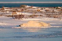 Adult male Polar Bear, Ursus maritimus, sleeping on frozen lake near Churchill, northern Manitoba, Hudson Bay, Canada, polar bear, Ursus maritimus