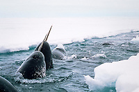 narwhals surfacing, Monodon monoceros, E. Canada (Arctic)