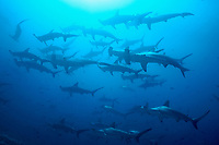 Hammerhead sharks, schooling, Darwin Island, Galapagos, Ecuador, Sphyrna lewini, Galapagos, Ecuador (E. Pacific Ocean)