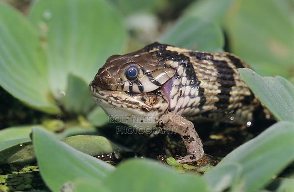 Checkered Garter Snake, Thamnophis marcianus marcianus, adult eating Leopard Frog, Lake Corpus Christi, Texas, USA, April 2003