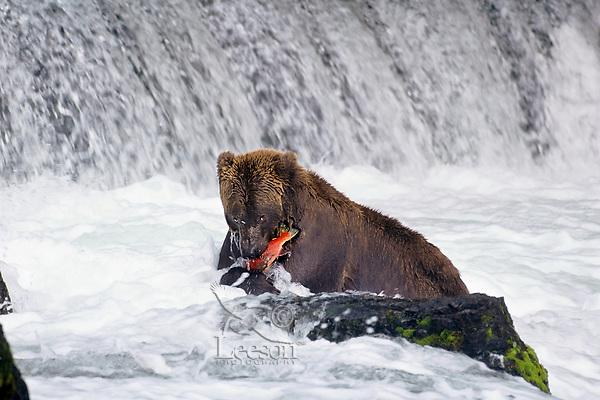 Alaskan brown bear or grizzly bear catching salmon. Alaska, fall.