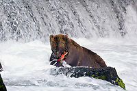 Alaskan brown bear or grizzly bear catching salmon