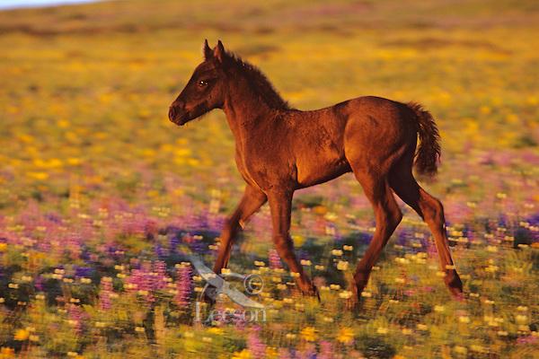 Young wild horse colt running thru wildflowers, Western U..S., Summer..(Equus caballus)