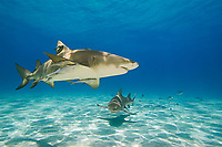 Lemon Sharks, Negaprion brevirostris, with sharksuckers, Echeneis naucrates, West End, Grand Bahama, Bahamas, Caribbean, Atlantic Ocean