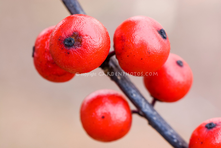 Ilex verticillata berries in fall and winter, closeup of several bright red berries on branch stem with neutral background
