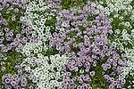 SWEET ALYSSUM MIX, LOBULARIA 'SNOW PRINCESS' AND 'BLUSHING PRINCESS' AT BONSALL CA