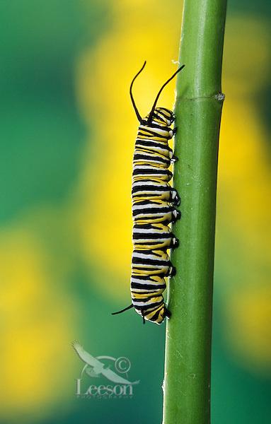 MONARCH BUTTERFLY (Danaus plexippus) life cycle..Caperpillar 4th Instar on milkweed..British Columbia, Canada.