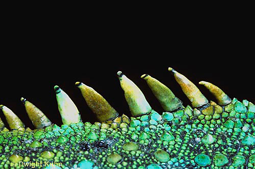 1R10-054b   Iguana - spines on back, from Central America - Iguana iguana