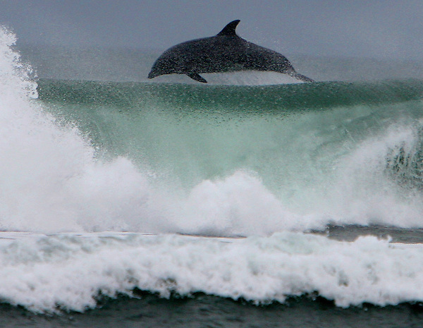 O.dolphin.1108.jl.jpg/photo Jamie Scott Lytle/A dolphin leaps through a wave in Oceanside Thursday afternoon about a quarter mile north of the pier. The dolfin was one of about 5 that were hanging out just beond the brakers.