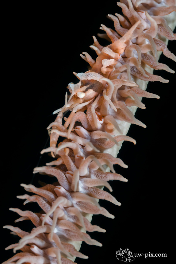 Wire-coral or whip coral shrimp (Pseudopontonides principis) in the Lembeh Strait