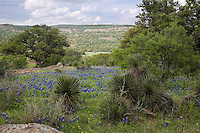 Bluebonnets cover the ground during spring in the Texas Hill Country, Willow City Loop