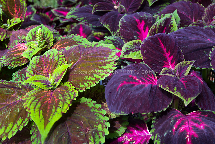 Coleus Picture Perfect Red & Picture Perfect Salmon, mix of two types of Solenostemon annual foliage plants in vibrant colorful colors of salmon orange, green, magenta and purple