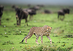Male Cheetah (Acinonyx jubatus) being watched by wildebeest. Short grass plains of the Serengeti / Ngorongoro Conservation Area (NCA) near Ndutu, Tanzania.