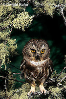 OW02-392z  Saw-whet owl - sitting on lichen covered branch - Aegolius acadicus
