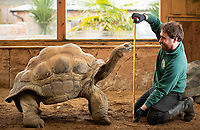 Britain's randiest tortoise has his annual fitness test to ensure he is in form for breeding season.