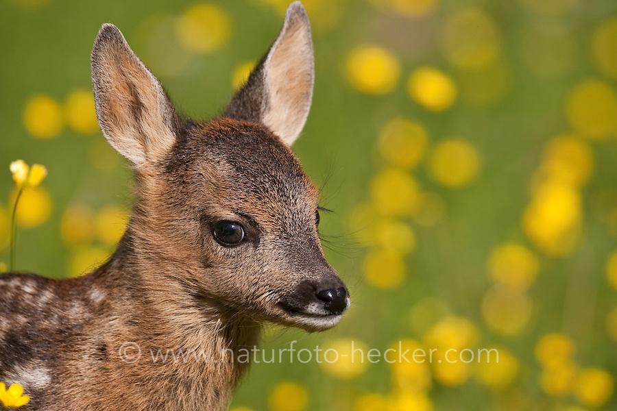Rehkitz, Reh-Kitz, Kitz, Tierkind, Tierbaby, Tierbabies, Europäisches Reh, Ricke, Weibchen, Capreolus capreolus, Roe Deer, Chevreuil