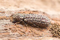 A Horned Powder-post Beetle (Lichenophanes bicornis) explores decaying wood from a dead tree.
