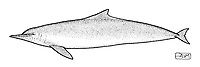 Chinese white dolphin or Indo-Pacific Ocean humpback dolphin, Sousa chinensis, lateral view, pen and ink illustration.