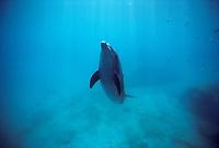 Wild Bottlenose Dolphin, Tursiops truncatus, swimming towards surface.