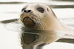 Harbor Seal (Phoca vitulina) swimming at surface, Elkhorn Slough, Monterey Bay, California
