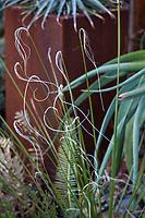 Nolina texana; Gerhard Bock garden