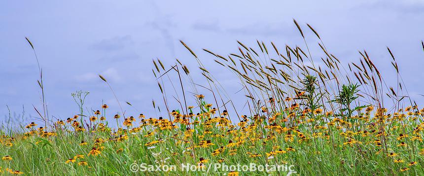 Tallgrass Prairie Preserve, Oklahoma with flowering Rudbeckia hirta and Elymus virginicus, Wildrye grass against blue sky.