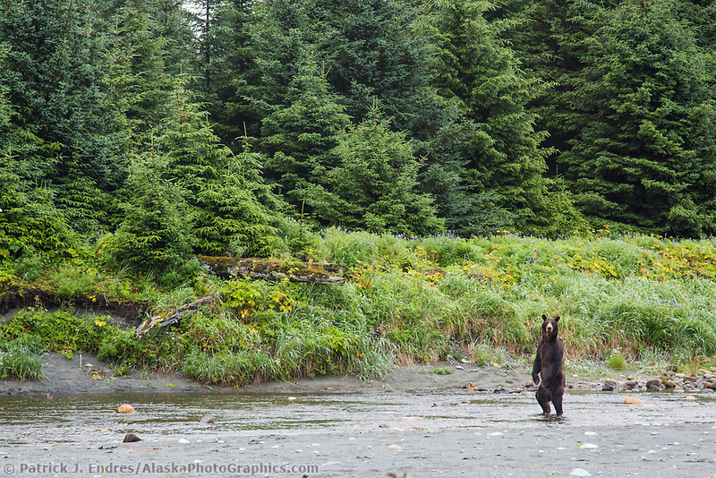 Brown bear stands up in a stream along the coast, Glacier Bay National Park, Southeast, Alaska