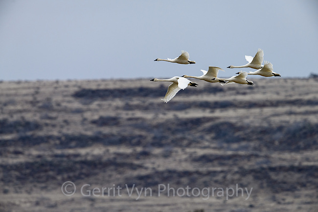 Tundra Swans (Cygnus columbianus). Lower Klamath National Wildlife Refuge, Oregon. February.