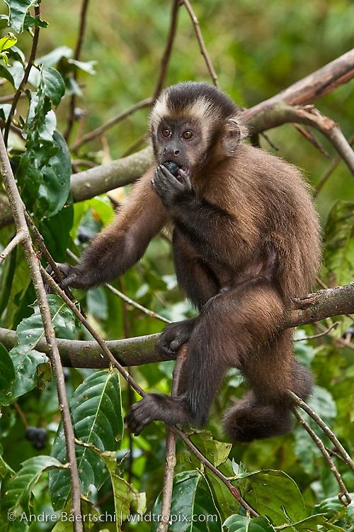 Brown Capuchin Monkey (Cebus apella), juvenile eating fruits on a tree in lower montane rainforest, Manu National Park, Madre de Dios, Peru.