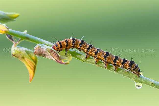 An Ornate Bella Moth (Utetheisa ornatrix) caterpillar feeds on a Streaked Rattlebox (Crotalaria pallida) plant.