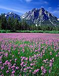 Sawtooth NRA, Idaho  <br /> Meadow of Rydberg's penstemon (Penstemon rydbergii) beneath the peaks of Mt. McGown